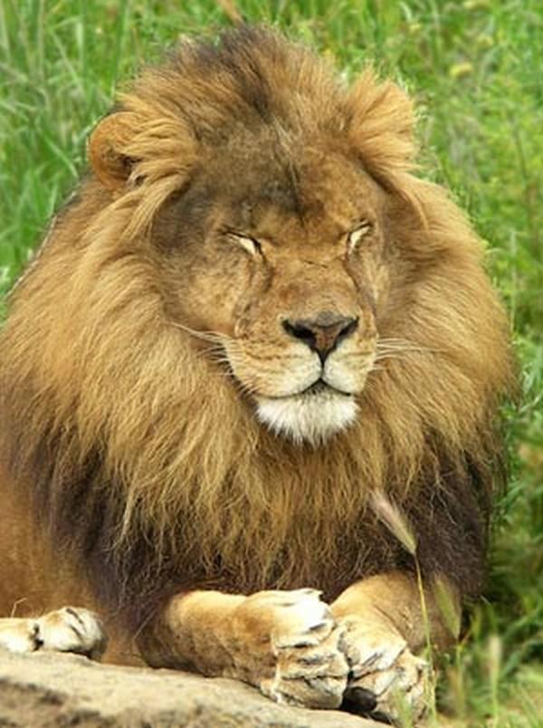 Lion Pray
