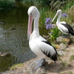 10 Interesting Facts About Pelicans
