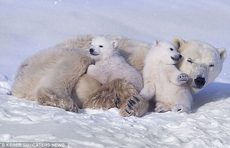 Winter fun white cubs and their mother