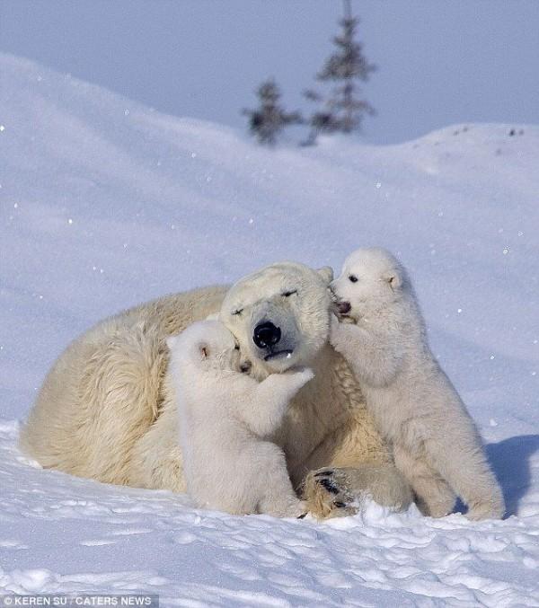 The Happiest Polar Bear Family