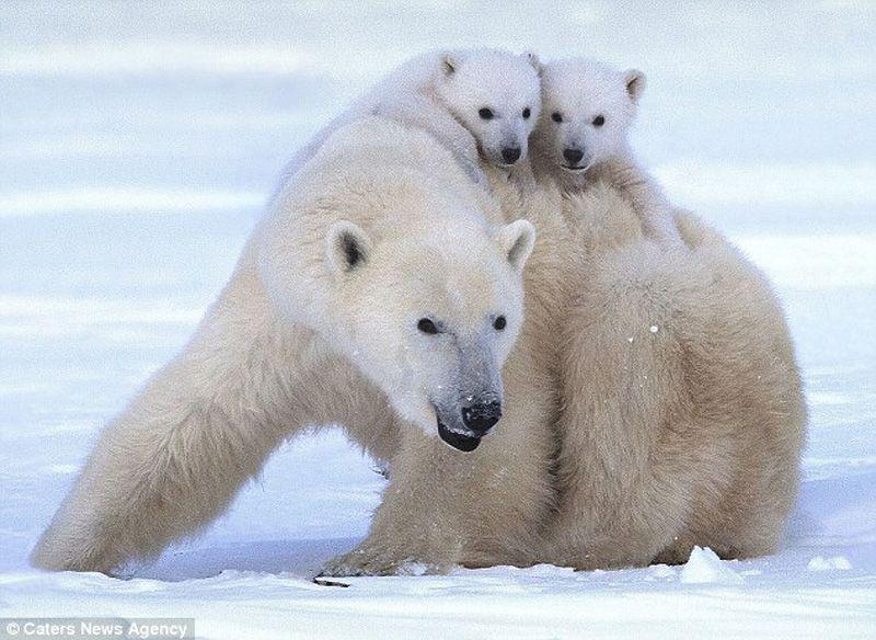 The Happiest Polar Bear and Their Cubs
