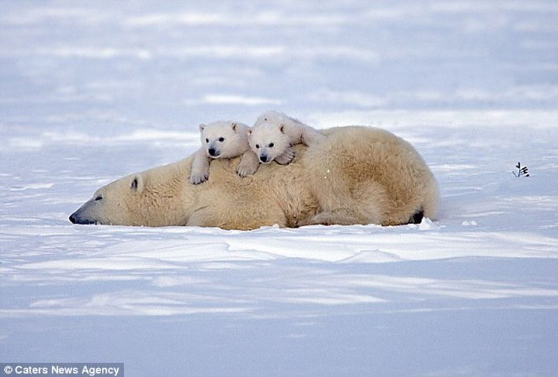 Polar Bear Family Resting Photos