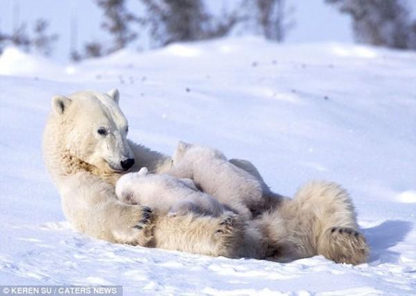 Polar Bear Photography by Keren Su