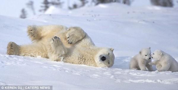 Winter Fun White Polar Bear and Their Mother