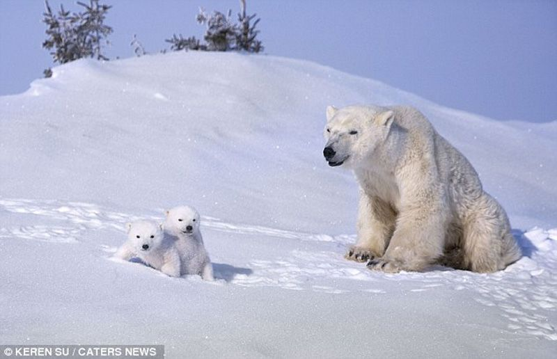 Winter fun of white cubs and their mother