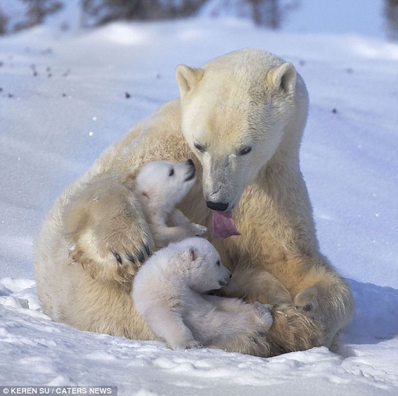 The Happiest Polar Bear Family