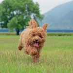 The 30 Super Cute Poodle Puppies