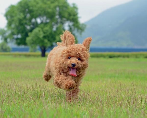 Super Cute Poodle-01
