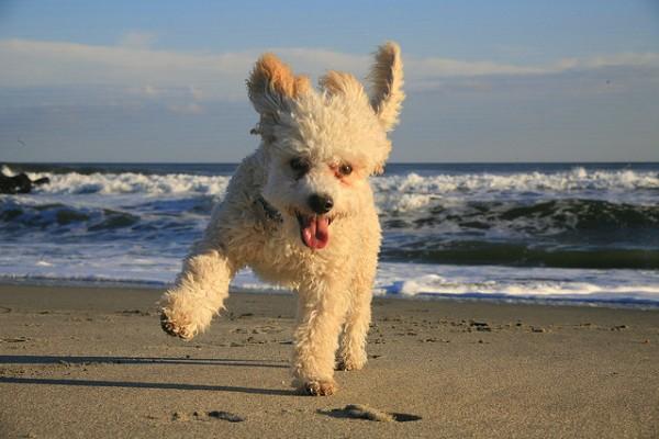 Super Cute Poodle-02