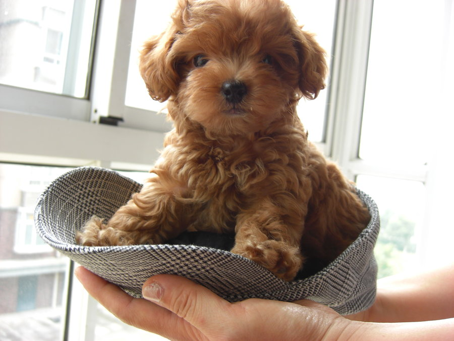 60+ Cutest Poodle Dog Images and Pictures | Golfian.com |Cute Poodle Puppies