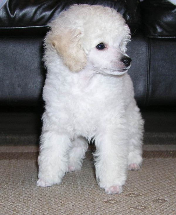 The 30 Super Cute Poodle Puppies - The Wondrous