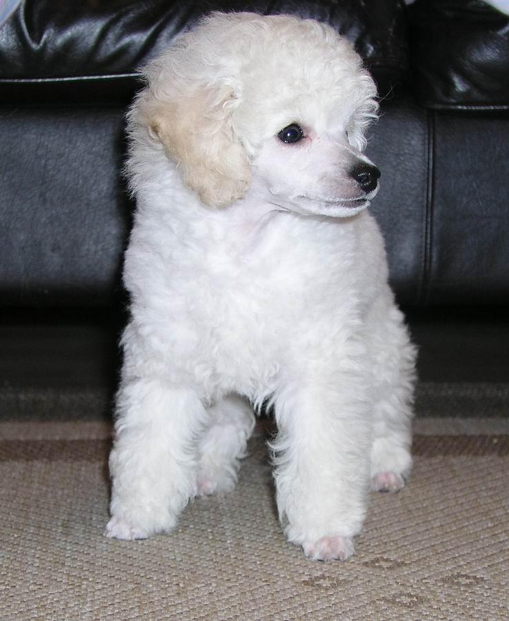 The 30 Super Cute Poodle Puppies The Wondrous