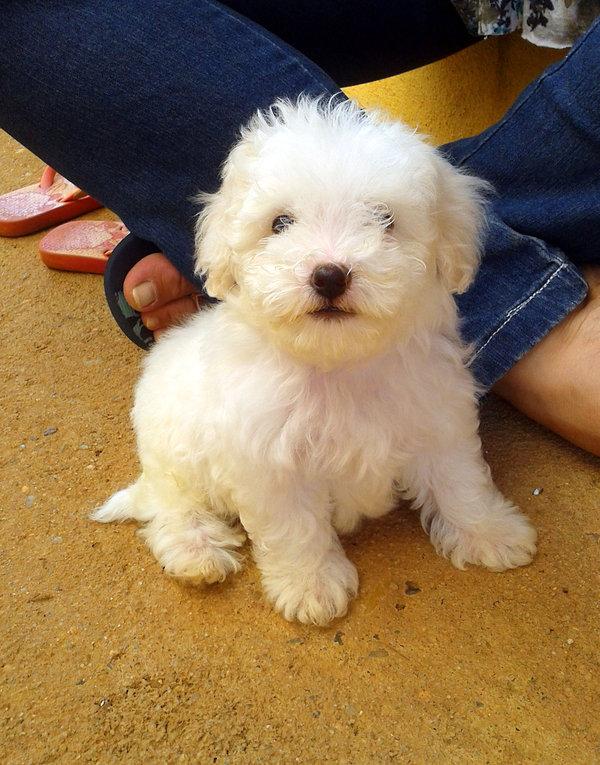 Super Cute Poodle-05