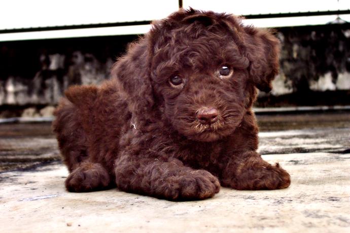 Super Cute Poodle-06