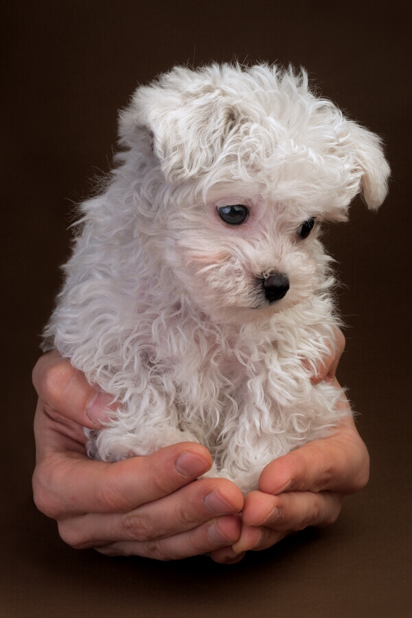 Puppy Dog Breeds Pictures |Cute Poodle Puppies