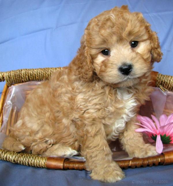 Super Cute Poodle-10