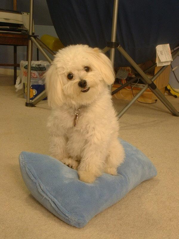 Super Cute Poodle-12