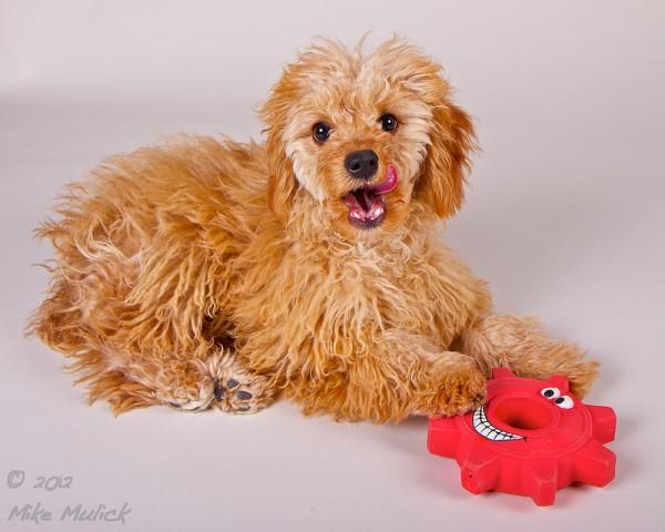Super Cute Poodle-14