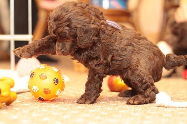 Super Cute Poodle-15