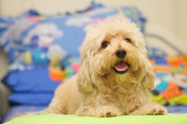Super Cute Poodle-16