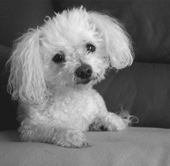 Super Cute Poodle-17
