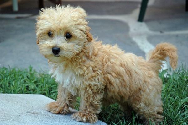 Super Cute Poodle-18