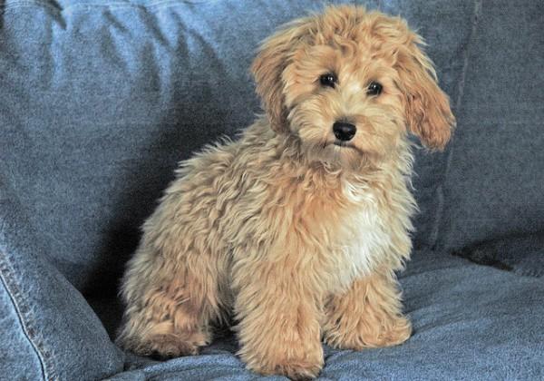 Super Cute Poodle-19