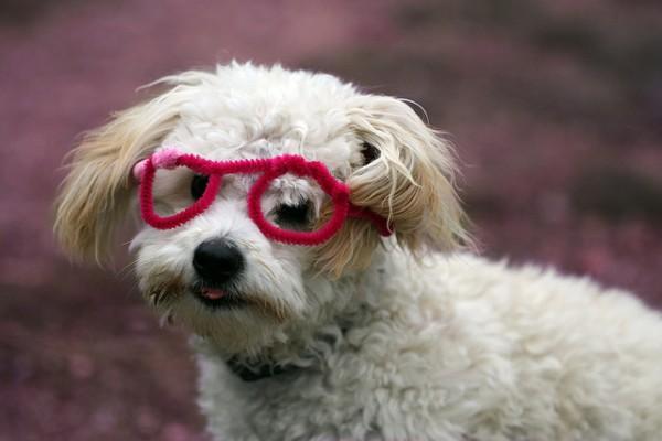 Super Cute Poodle-20
