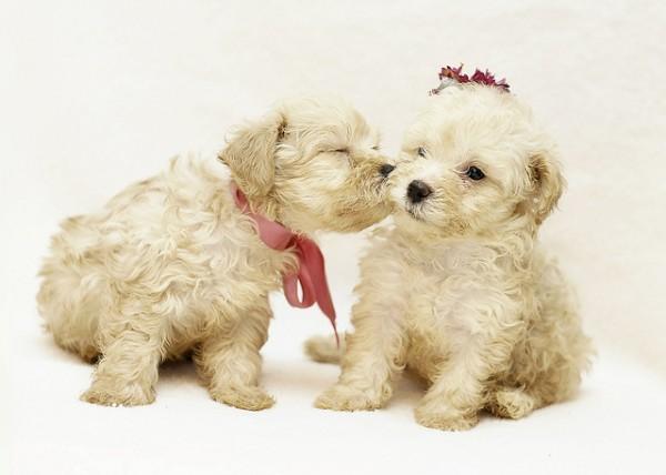 Super Cute Poodle-21
