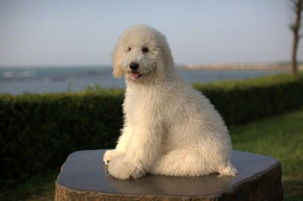 Super Cute Poodle-22