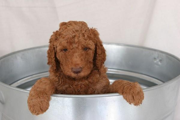 Super Cute Poodle-23