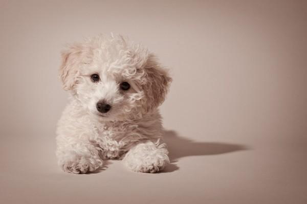 Super Cute Poodle-24