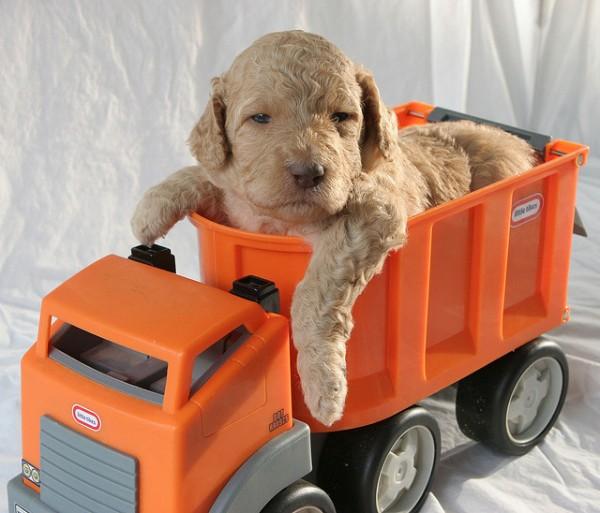 Super Cute Poodle-25