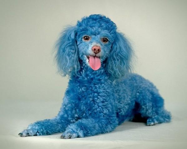 Super Cute Poodle-26