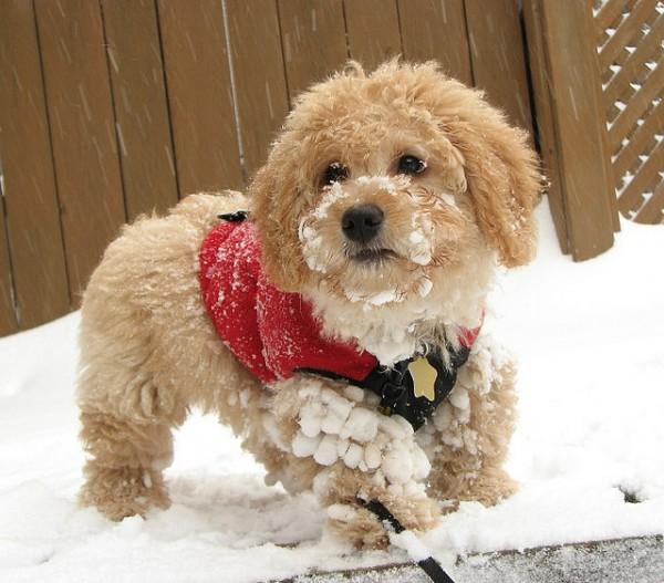 Super Cute Poodle-27