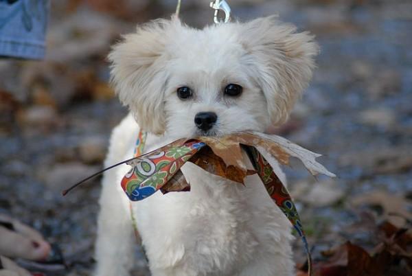 Super Cute Poodle-30