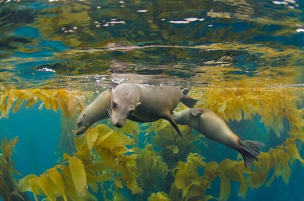 The Mexican kelp forest. Amazing underwater scenery.