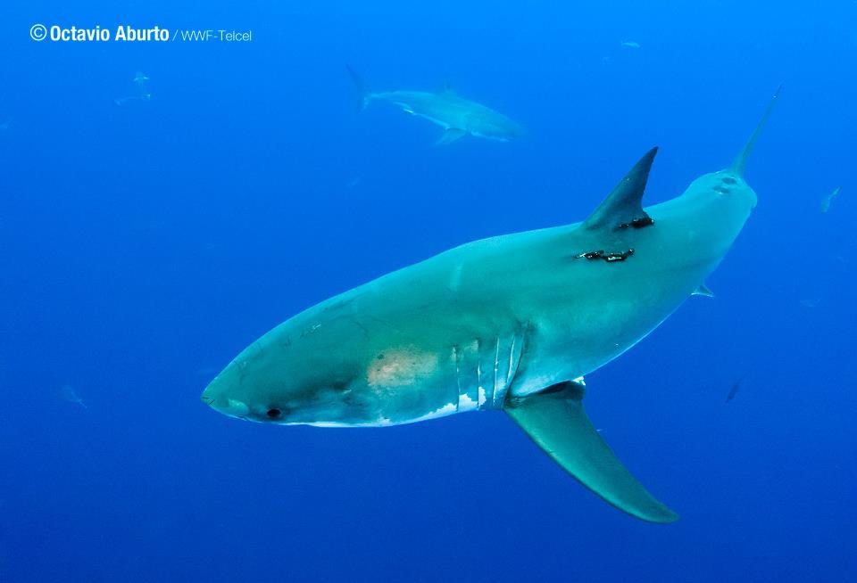 The imposing white shark