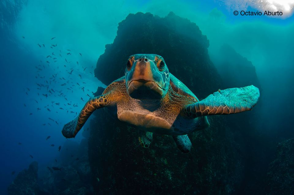 sea turtle that appear in the image with Explorer in Residence Enric Sala