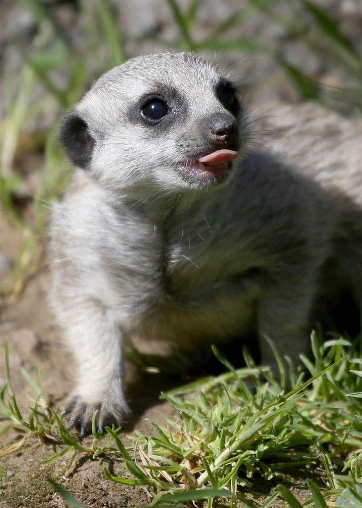 A Meerkats cub