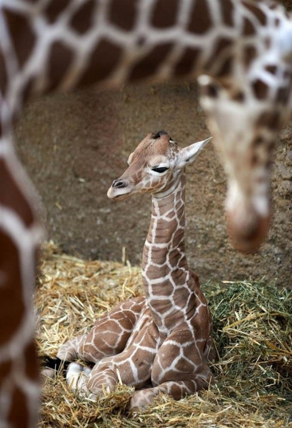A newborn baby giraffe lying on a pile of straw