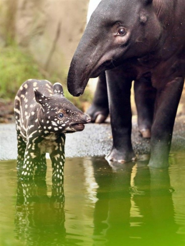 Black & yellow tapir calf