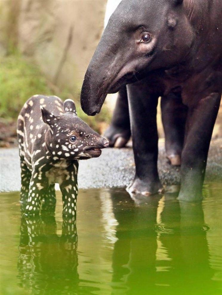 Black & yellow tapir calf