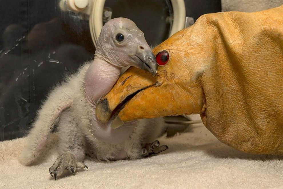 Condor chick pressed the doll to the San Diego Zoo