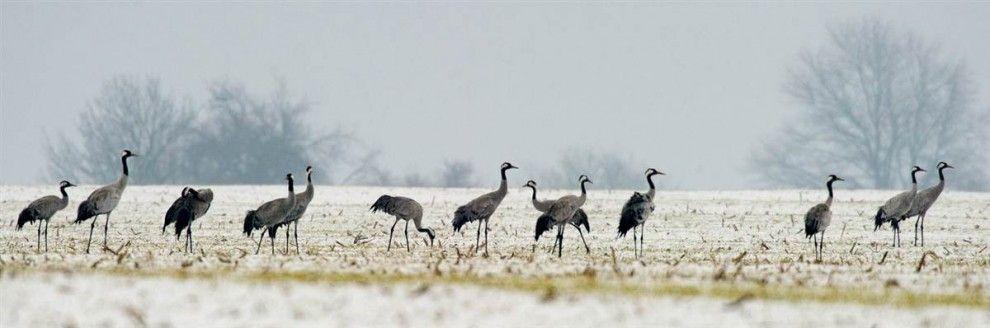 Cranes stand in a field near Petersdorf,