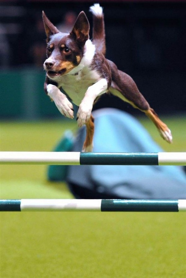 Dog jumps over a hurdle at the dog show
