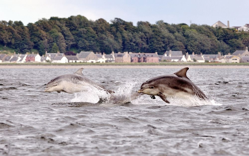 Dolphins of the Firth of Forth by Alessandro Oggioni