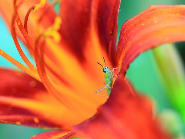 Grasshopper, Georgia