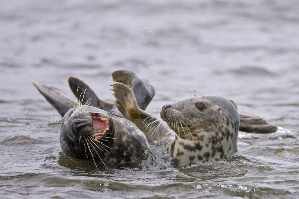 """Grey seals"" by Tom McDonnell"