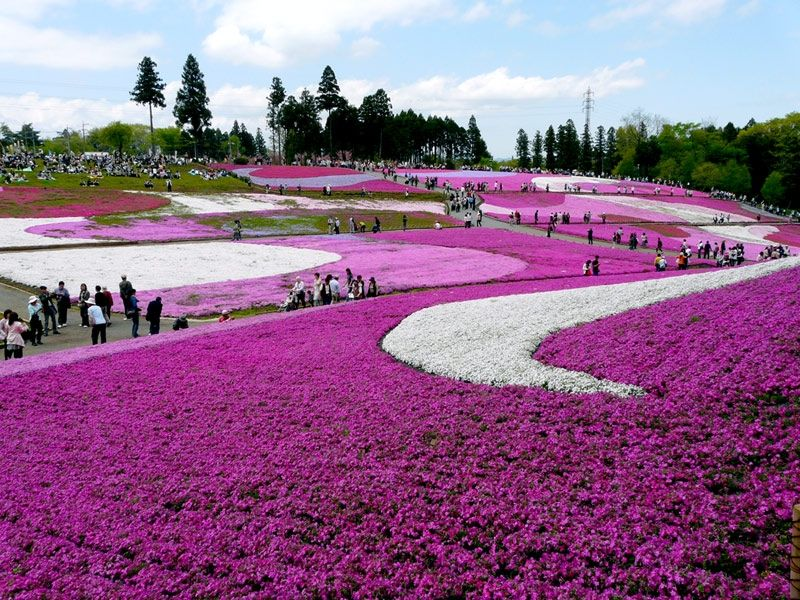 Hitsujiyama Park in Japan Is covered with the Moss pink Shibazakura